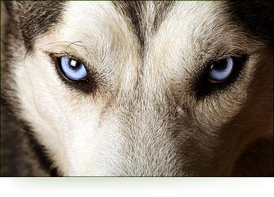 Waar leeft de wolf