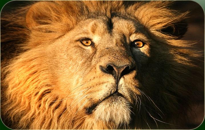 De koninklijke leeuw